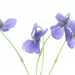 watercolor violets