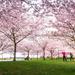 Cherry Blossom Time.