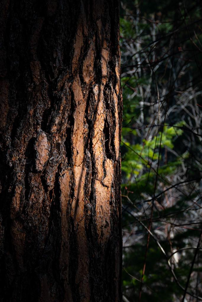 tall Pines by teriyakih