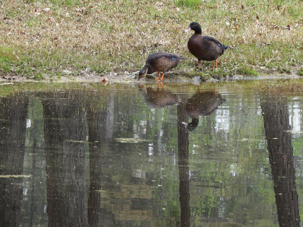 Black ducks by homeschoolmom