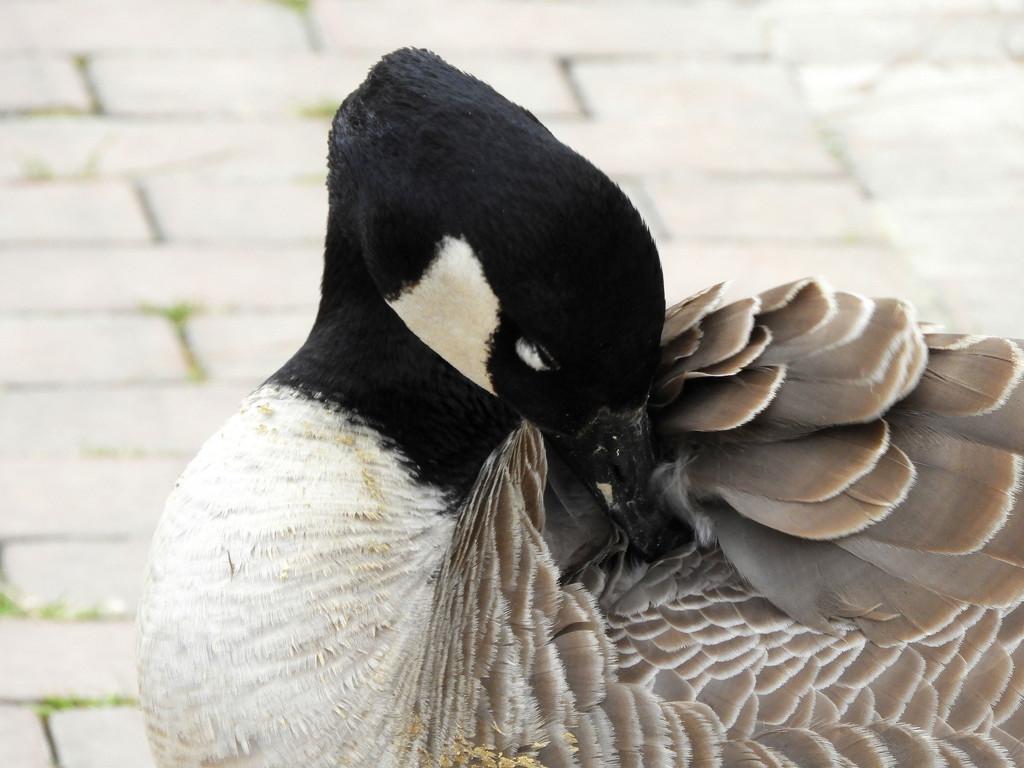 Shy Goose by homeschoolmom