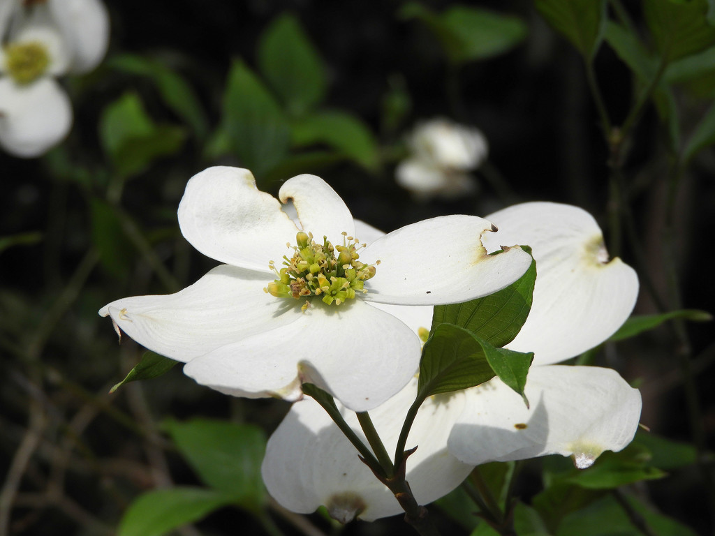 White dogwood by homeschoolmom