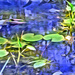 Painted waterlilies