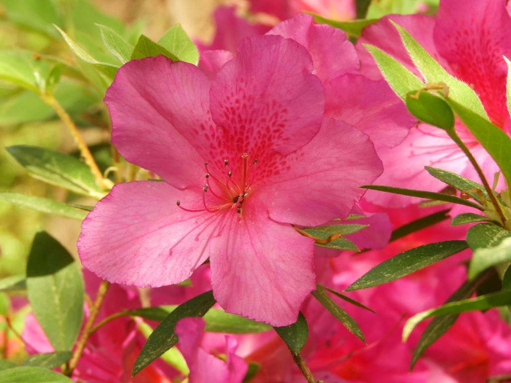 Pink Azalea by homeschoolmom