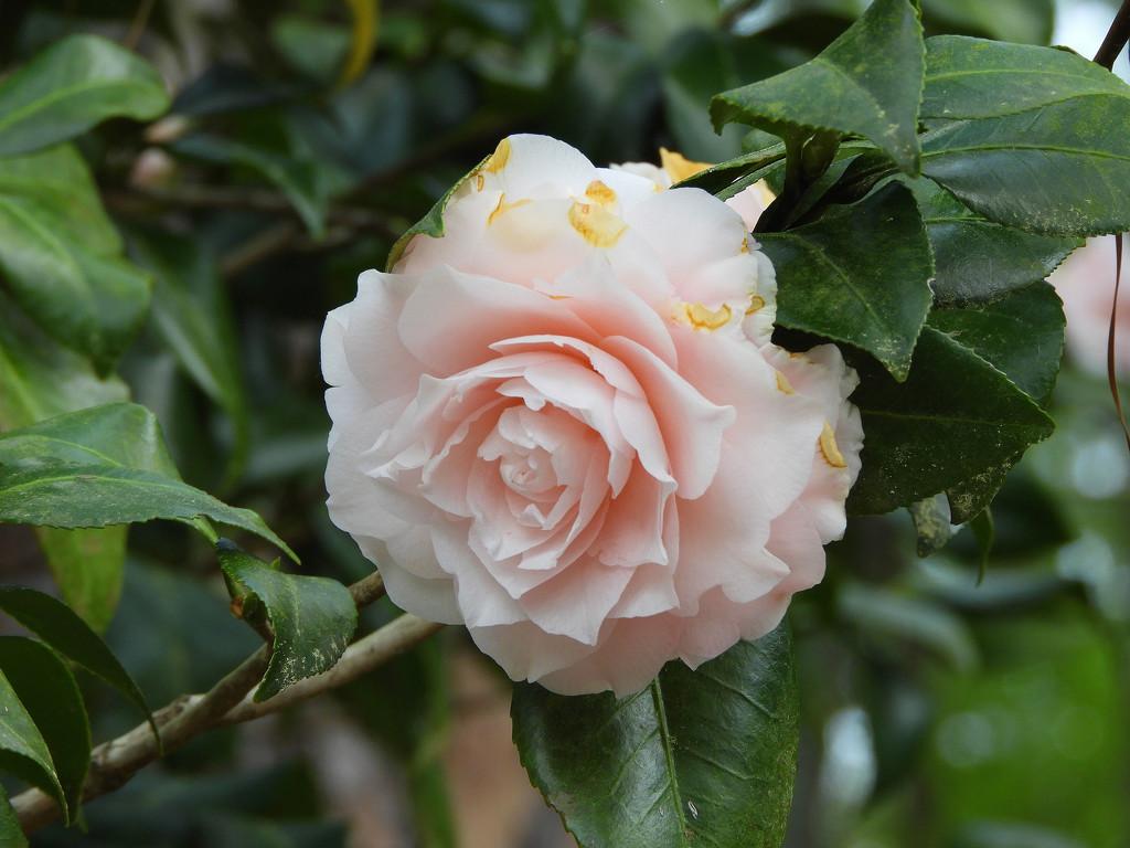 Pink Camellia by homeschoolmom