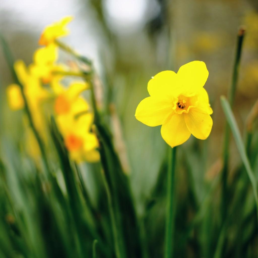 Daffodil 10 by 4rky