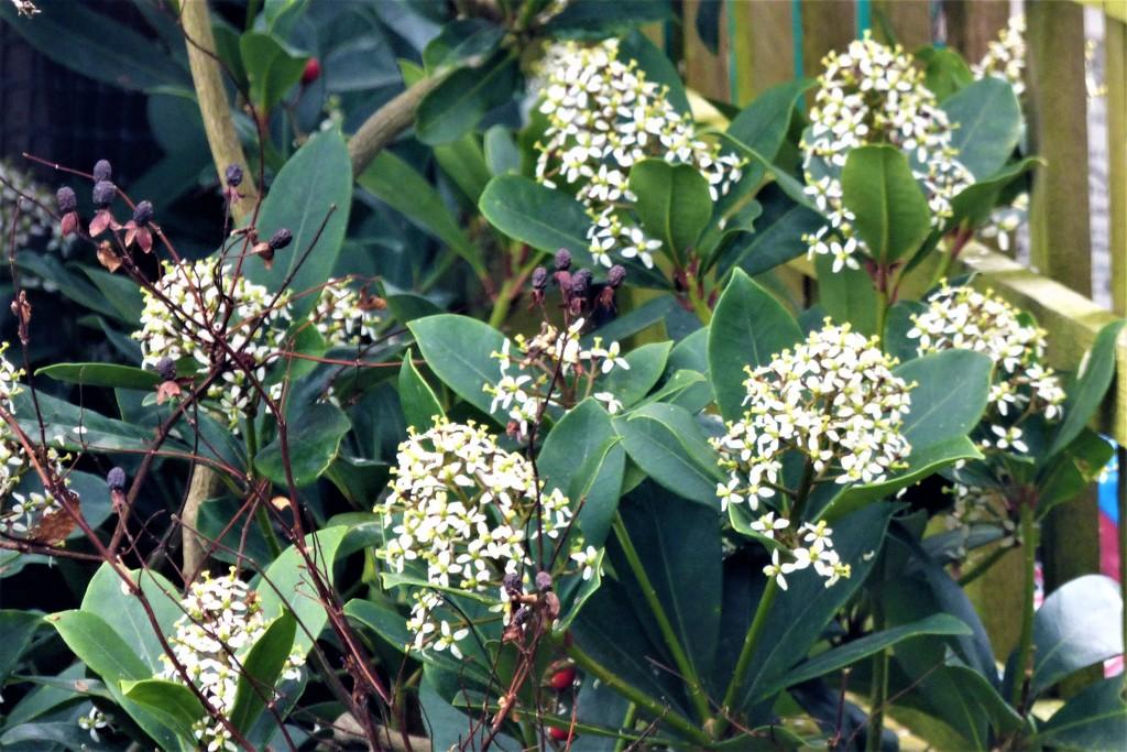 Skimmia in flower  by beryl