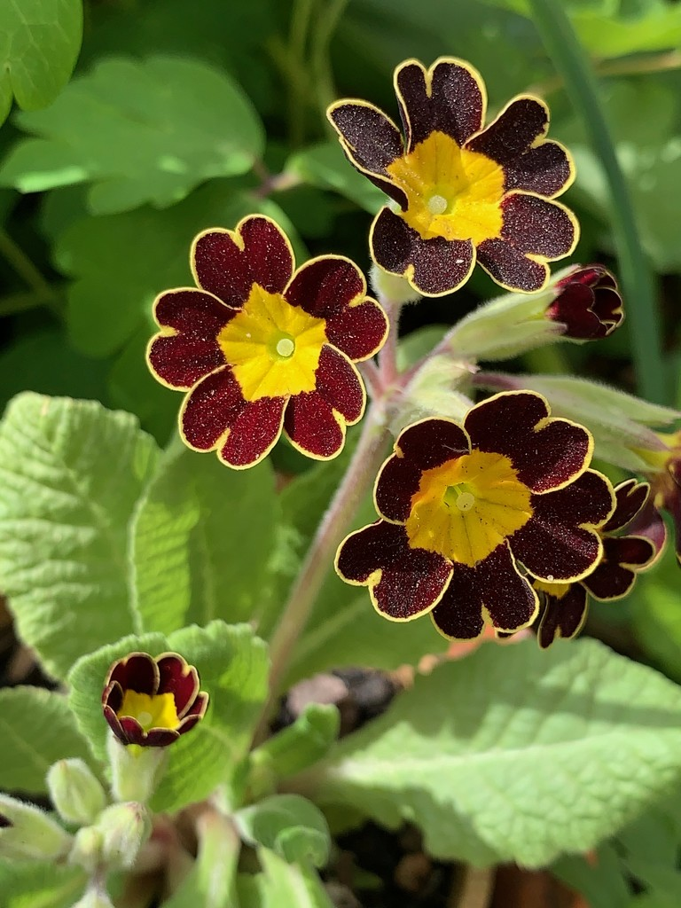 Primula 'Gold Lace' by 365projectmaxine