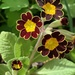 Primula 'Gold Lace'
