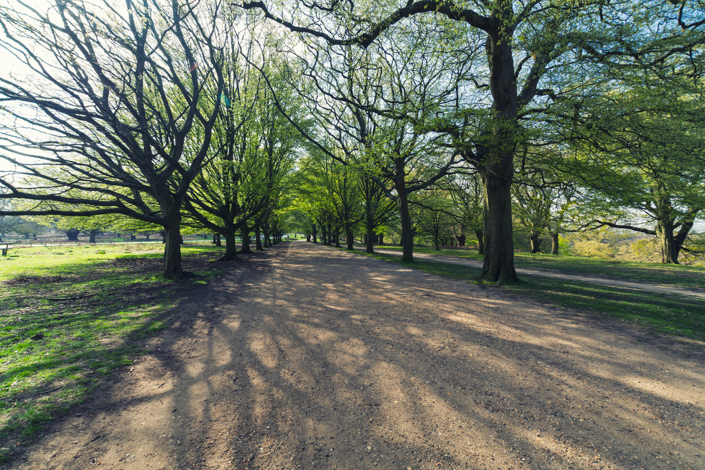 Hornbeam Avenue by rumpelstiltskin
