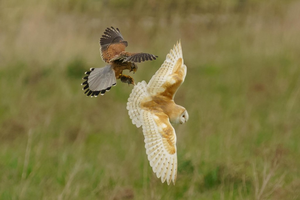 Barn Owl & Kestrel by padlock