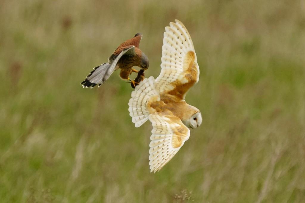 Barn Owl & Kestrel by padlock