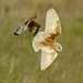Barn Owl & Kestrel