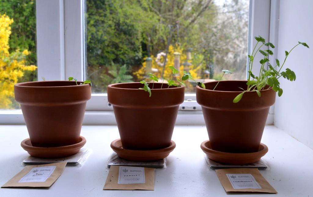Growing Herbs by arkensiel