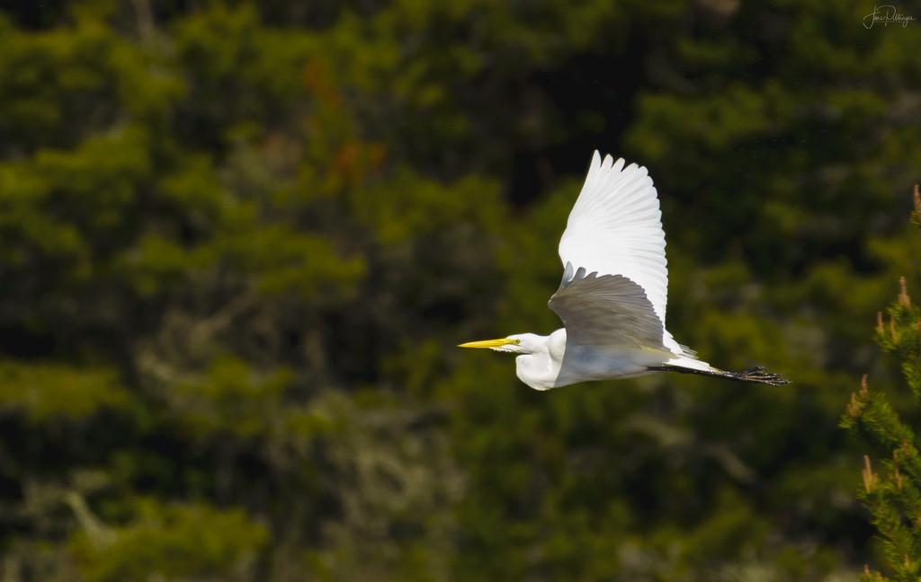 White Egret Over the Marsh  by jgpittenger