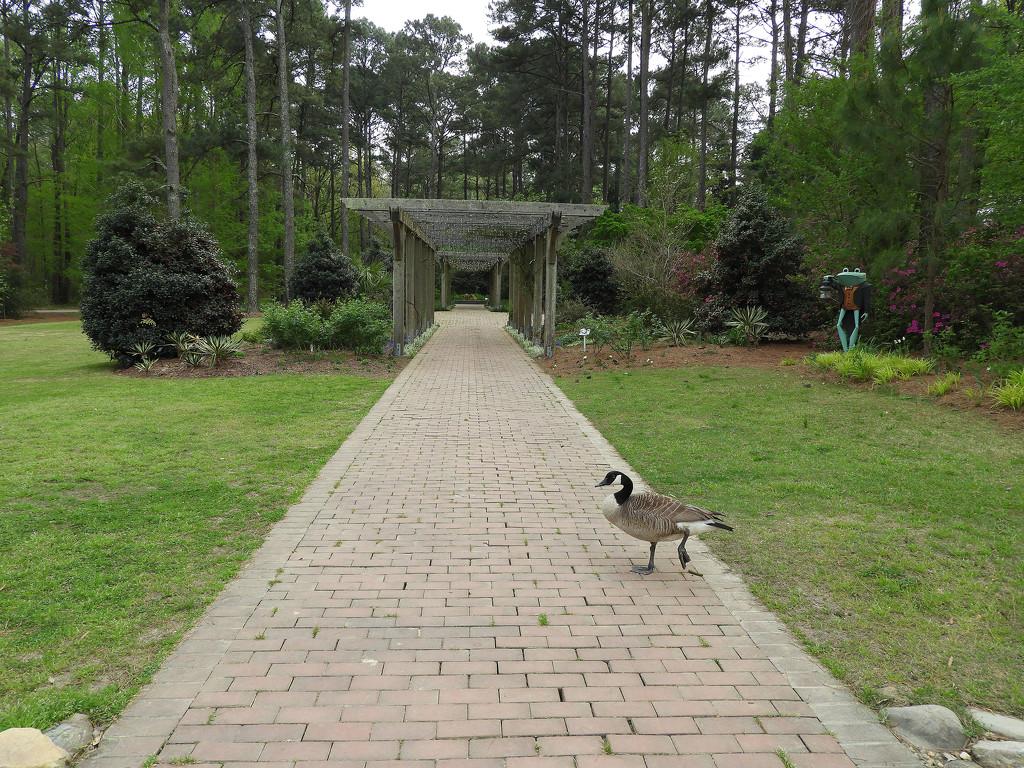 Canada goose dance by homeschoolmom