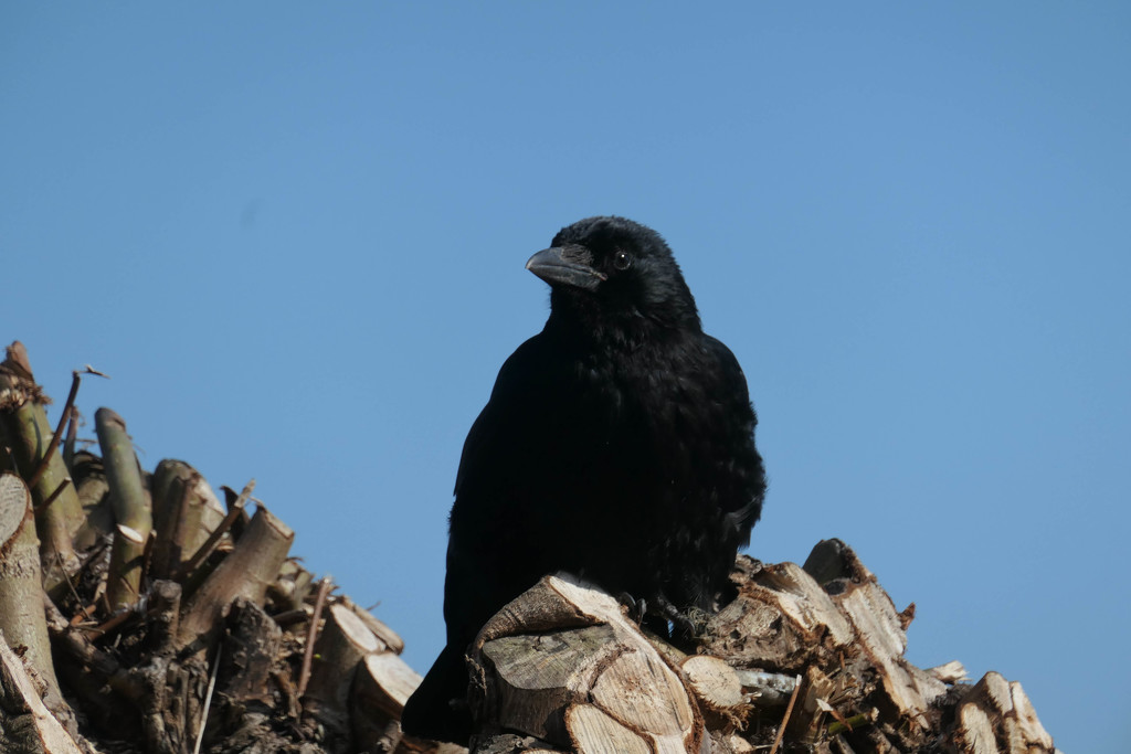 Crow (non-moving) by stiggle