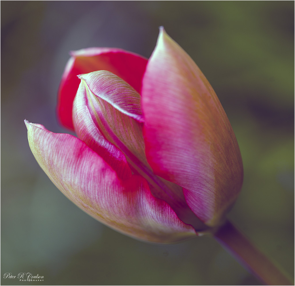 Tulip by pcoulson
