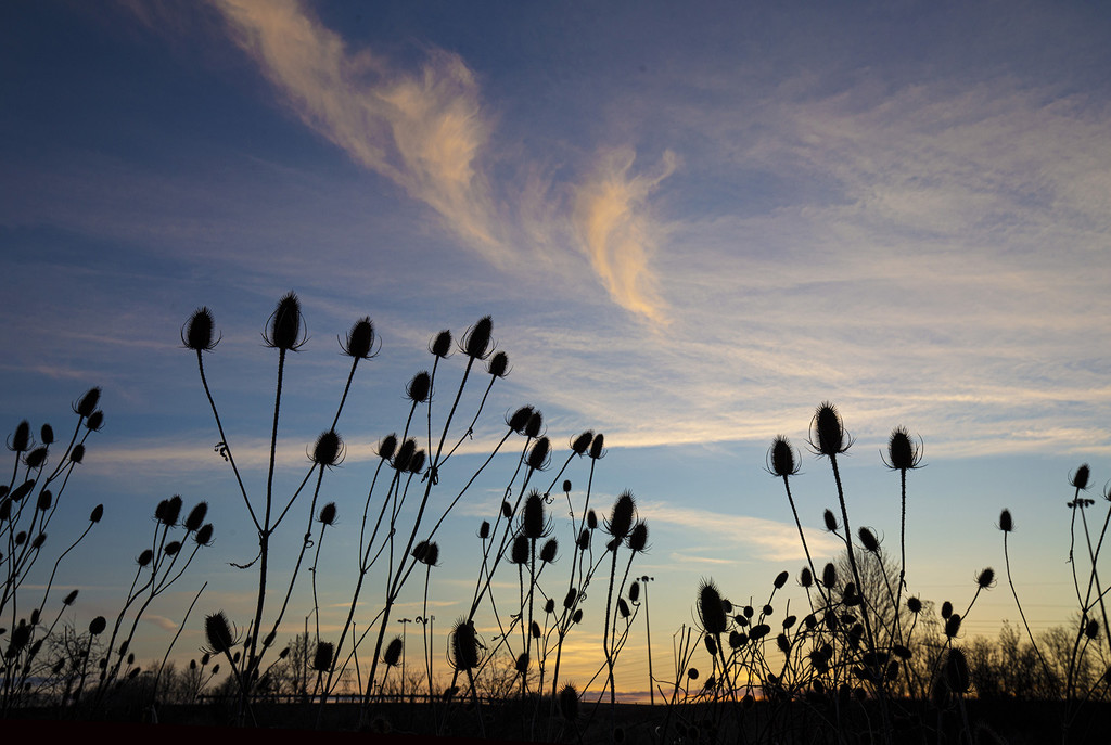 Wild Dry Teasel at Sunset by pdulis