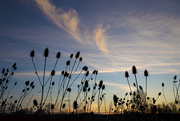 10th Apr 2021 - Wild Dry Teasel at Sunset
