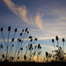 Wild Dry Teasel at Sunset