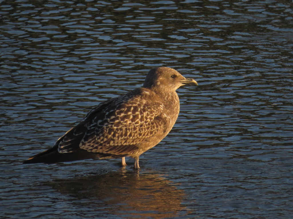Juvenile gull in the paddling pool by kali66