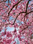 10th Apr 2021 - Pink spring.