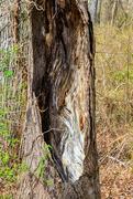 10th Apr 2021 - Hollow Tree