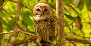 10th Apr 2021 - Another Barred Owl at the Other Park!