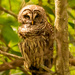 Another Barred Owl at the Other Park!