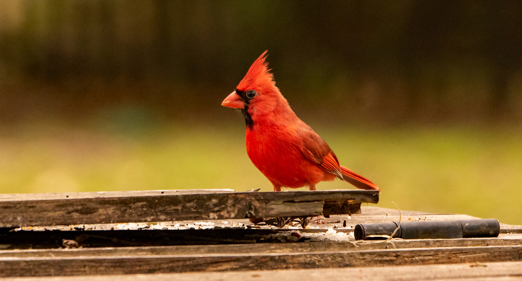 Mr Cardinal on the Trash Bin! by rickster549