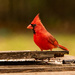 Mr Cardinal on the Trash Bin!