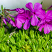 Our 1st Phlox Blooms