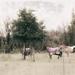 Landscape 37 - horses