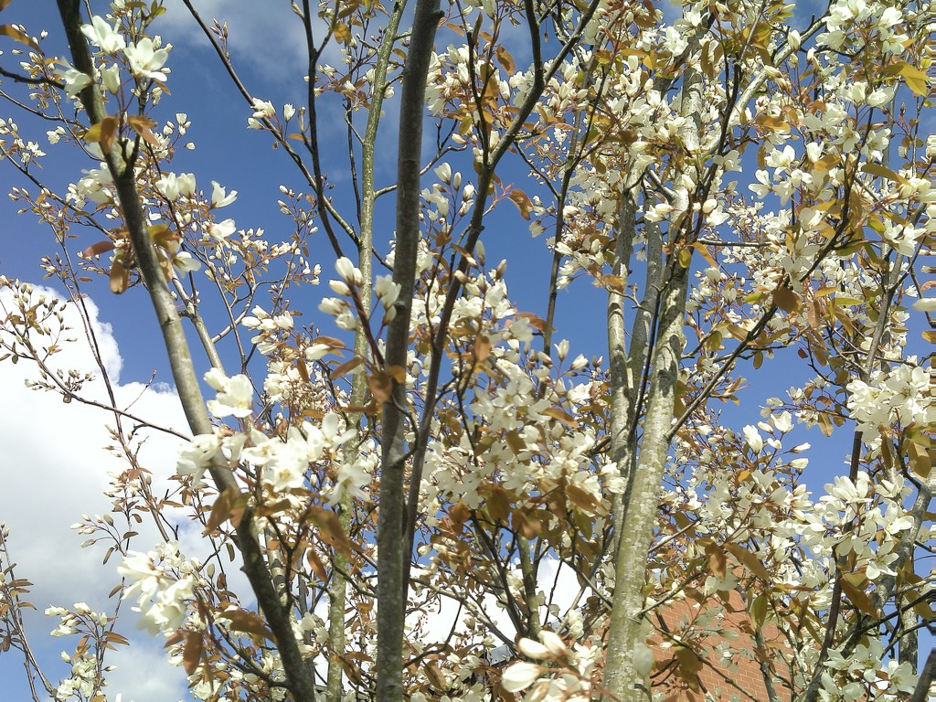 Blue sky and white clouds with Spring blossoms. by grace55