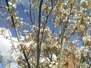 11th Apr 2021 - Blue sky and white clouds with Spring blossoms.