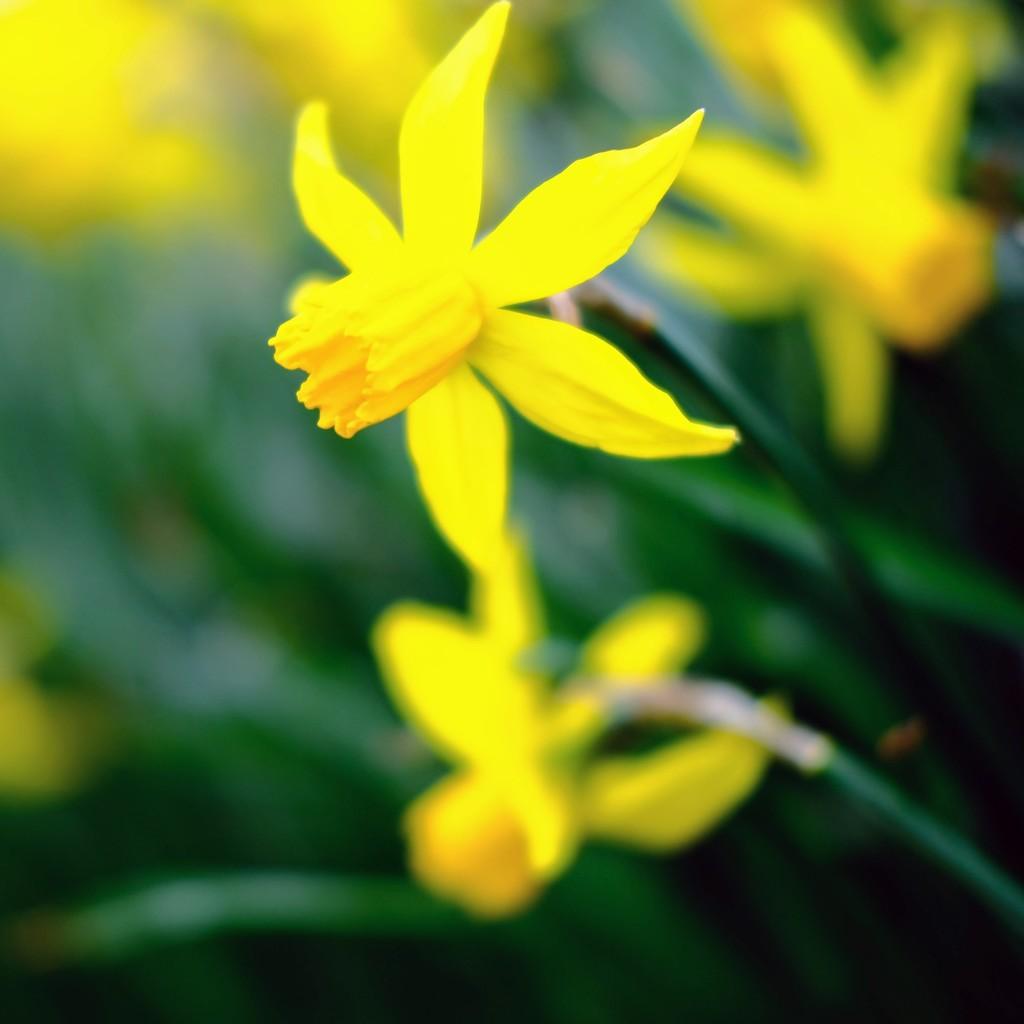 Daffodil 11 by 4rky