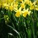 Daffodil 9