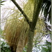 Fruits of the Piccabeen Palm in my back yard area