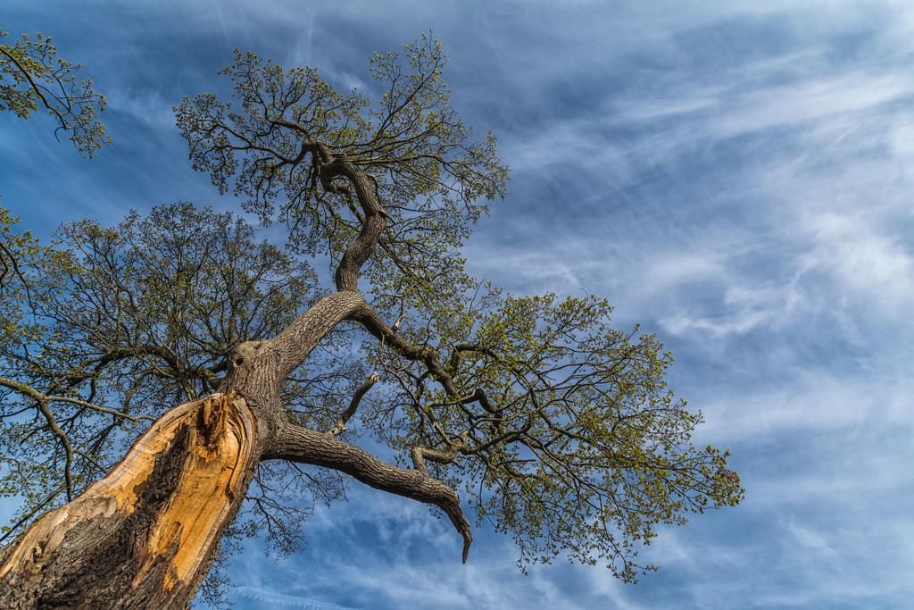 The old oak by rumpelstiltskin