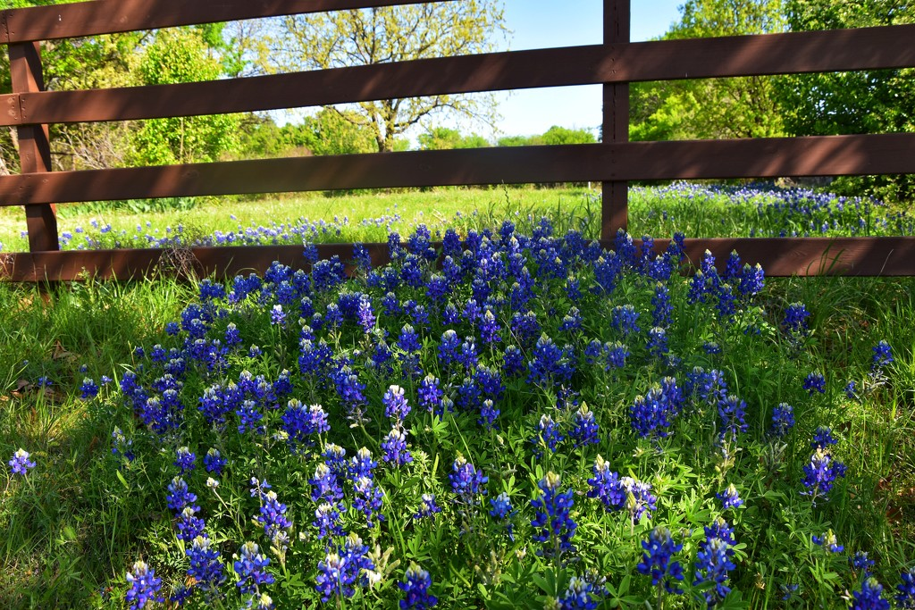 The Bluebonnets are in full bloom by louannwarren