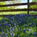 The Bluebonnets are in full bloom