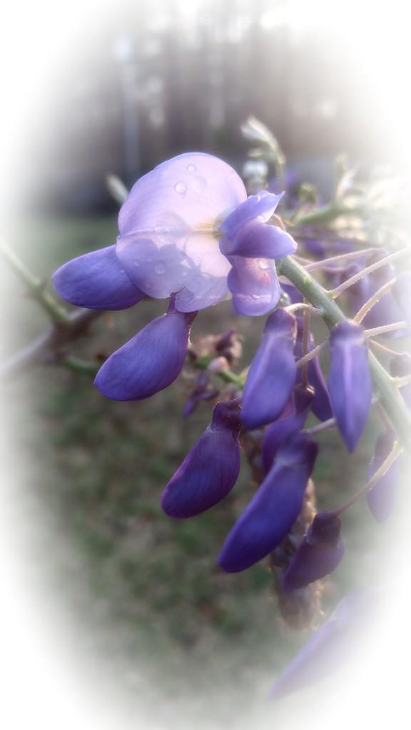 Purple... by marlboromaam