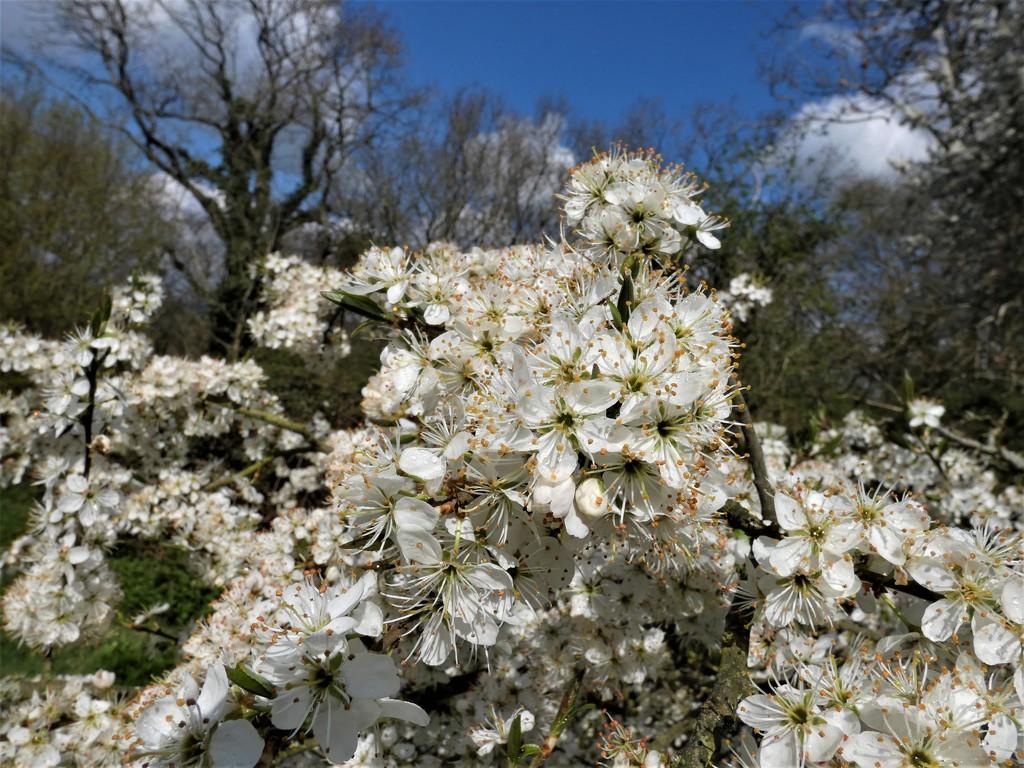 Wild plum blossom by julienne1