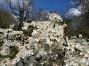 10th Apr 2021 - Wild plum blossom