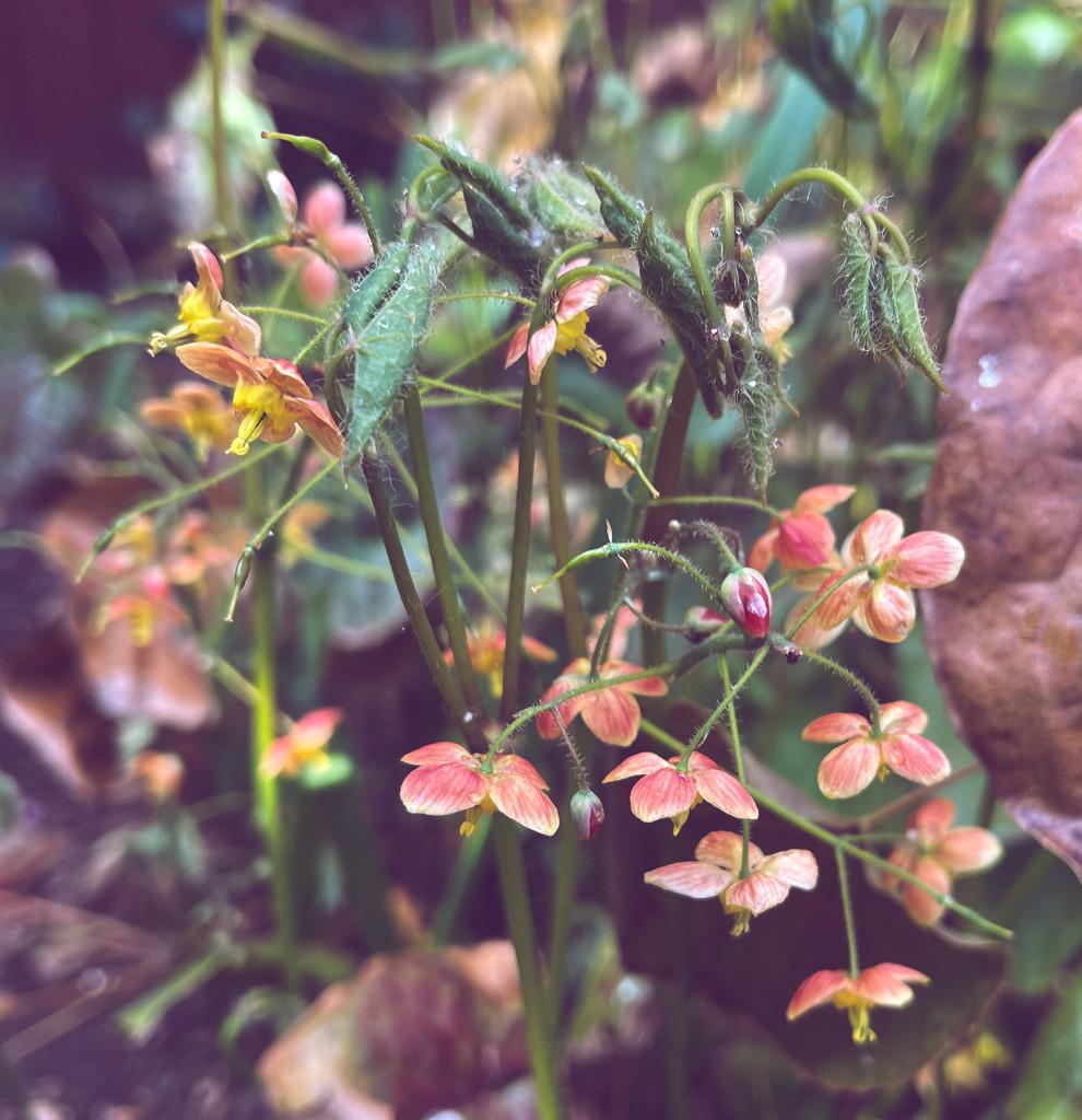 Epimedium by tinley23