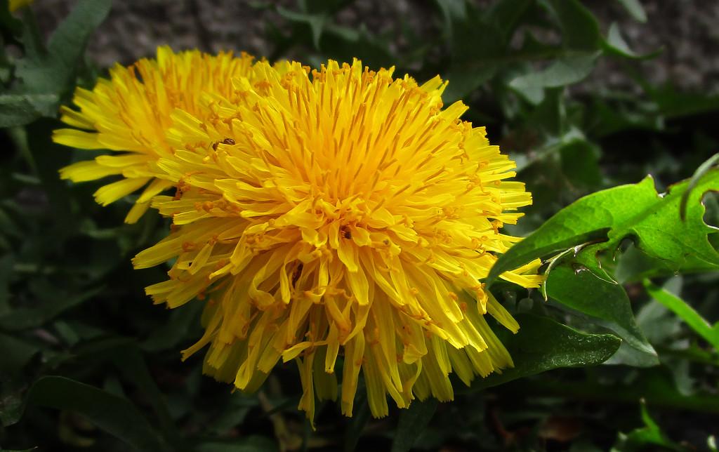 Dandelions by mittens