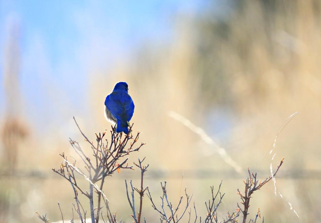 Bluebird by gq