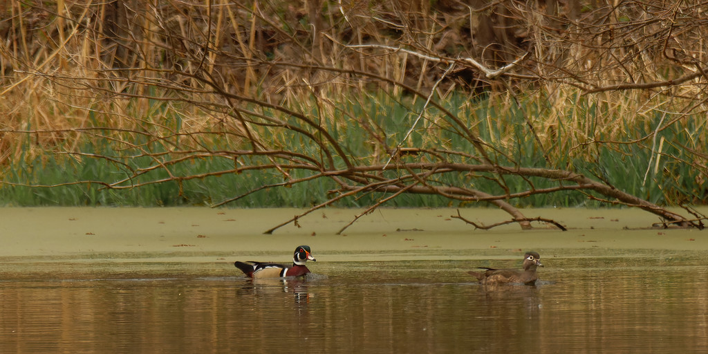 wood duck  by rminer
