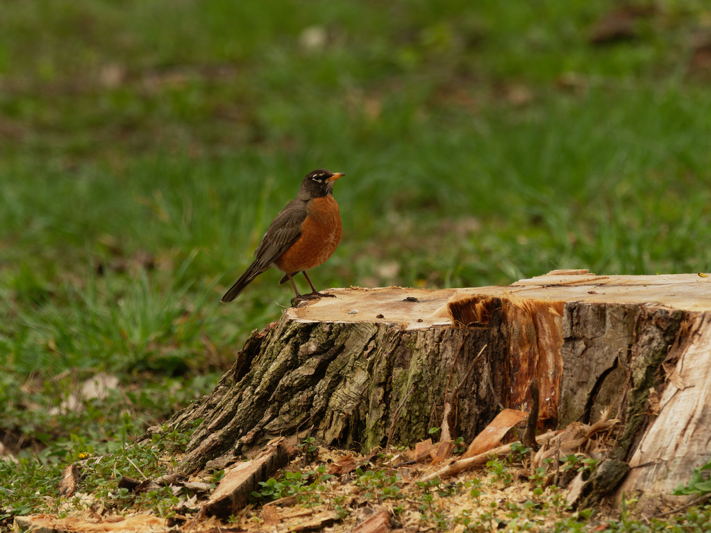 American robin on a stump by rminer